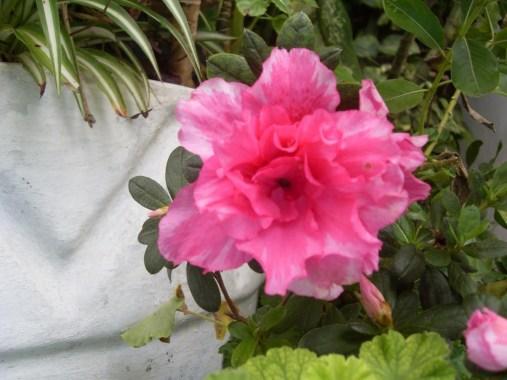 Fotografía de Emar Ariel García. Flor de Azalea. e1360012755435 - Galería - Fotos de Flores
