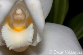 Monja Blanca, flor nacional de Guatemala