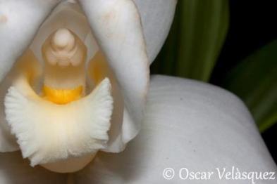 Monja Blanca Oscar Velasquez - Galería - Fotos de Flores