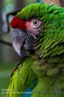Guacamaya del Zoo Instituto de Recreación para los Trabajadores - IRTRA - Mundo Petapa - foto por Karla Castellanos