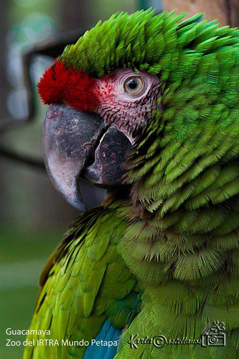 Guacamaya del Zoo Instituto de Recreación para los Trabajadores IRTRA Mundo Petapa foto por Karla Castellanos - Galería - Fotos de Guacamayas