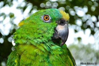 El Loro ave tradicional en Guatemla - foto por Alberto Bolaños