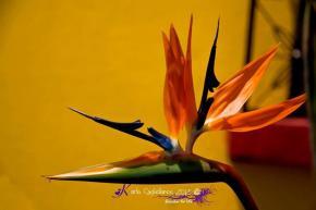 Flor llamada, Ave del Paraiso - foto por Karla Castellanos