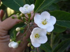 esquisuchil 300x225 - Entre flora y aroma a Cuaresma