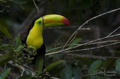 En Guatemala existen 3 especies distintas de tucán. Foto por Carlos Echeverria.