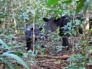 Fauna Danta con su cria Tapirus bairdii en la Reserva de la Biosfera Maya foto por Melvin Merida - La fauna de Guatemala