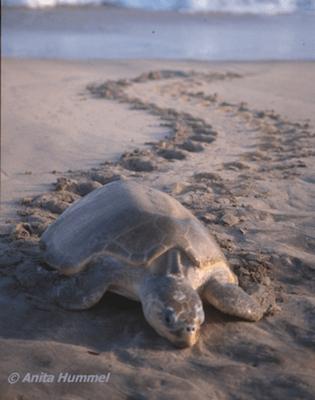 patrullate nocturno de tortugas en monterrico 2 mundochapin1 - Guía Turística - Patrullaje nocturno de Tortugas en Monterrico