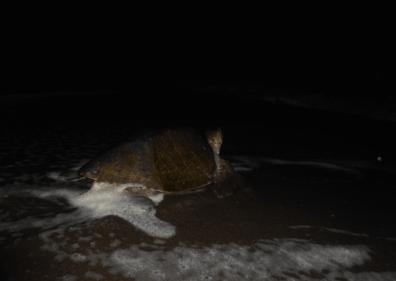 patrullate nocturno de tortugas en monterrico 3 mundochapin - Guía Turística - Patrullaje nocturno de Tortugas en Monterrico