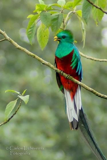 El Quetzal ave nacional de Guatemala - foto por Carlos Echeverria