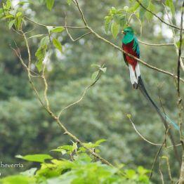 El Quetzal en San Marcos - foto por Carlos Echeverria