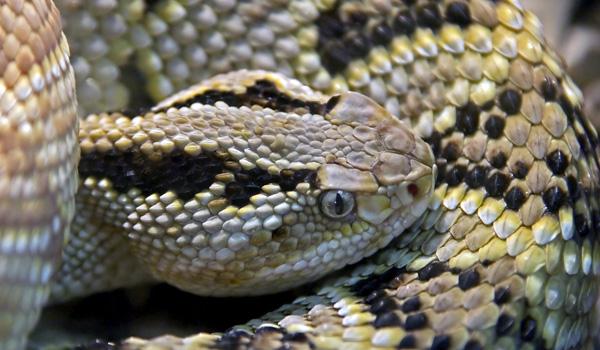 Serpiente2 - Conoce los 5 animales más peligrosos de Guatemala