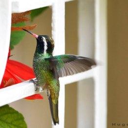 ave - Colibrí - foto por Hugo Altán