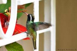 ave colibri foto por hugo altan - Galeria de Fotos de Guatemala por Hugo Altán