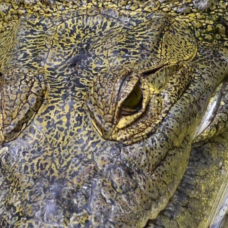 Cocodrilo de Morelet, la especie de cocodrilo más difundida en Petén - foto por Rony Rodriguez