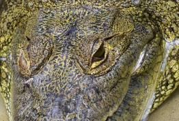 cocodrilo de morelet la especie de cocodrilo mas difundida en peten foto por rony rodriguez - Galeria de Fotos de Guatemala por Rony Rodriguez