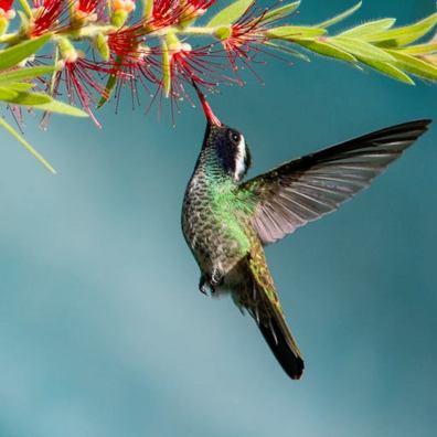 Colibrí orejudo blanco hylocharis leucotis - White-eared hummingbird en Zona 13, ciudad de Guatemala - foto por Luis Búrbano