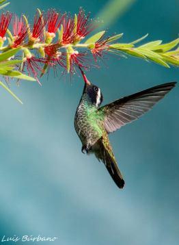 colibri orejudo blanco hylocharis leucotis white eared hummingbird en zona 13 ciudad de guatemala foto por luis burbano - Galeria de Fotos de Guatemala por Luis Búrbano