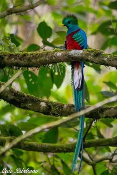 el quetzal 3 foto por luis burbano - Galeria de Fotos de Guatemala por Luis Búrbano