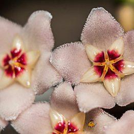 Flor - Nombre de la flor es Flor de Cera - foto por Hugo Altán