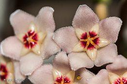 flor nombre de la flor es flor de cera foto por hugo altan - Galeria de Fotos de Guatemala por Hugo Altán