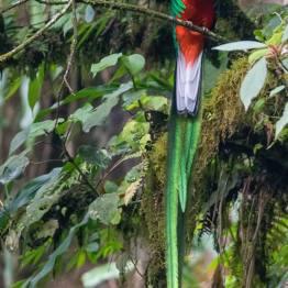 Quetzal resplandeciente macho en refugio de San Rafael pie de la cuesta, San Marcos - foto por Luis Búrbano