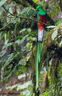 quetzal resplandeciente macho en refugio de san rafael pie de la cuesta san marcos foto por luis burbano - Galeria de Fotos de Guatemala por Luis Búrbano