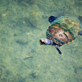 Tortuga en el lago Petén Itzá - foto por Rony Rodriguez de www.petenenfotos.blogspot.com