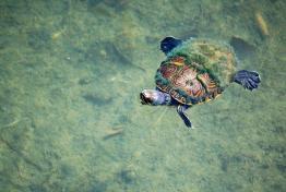 tortuga en el lago peten itza foto por rony rodriguez de www petenenfotos blogspot com - Galeria de Fotos de Guatemala por Rony Rodriguez
