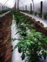 finca agricola de tomate en amatitlan guatemala foto por carlos roberto evans 225x300 - Principales sectores de la economía guatemalteca