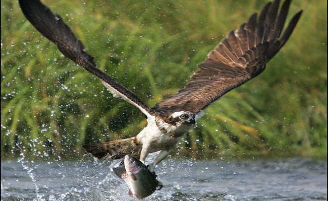 fwzd el aguila pescadora vuelve a espana - 10 Tipos de Aves en Guatemala