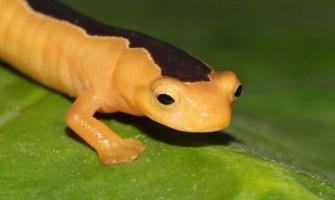 La salamandra redescubierta en Guatemala