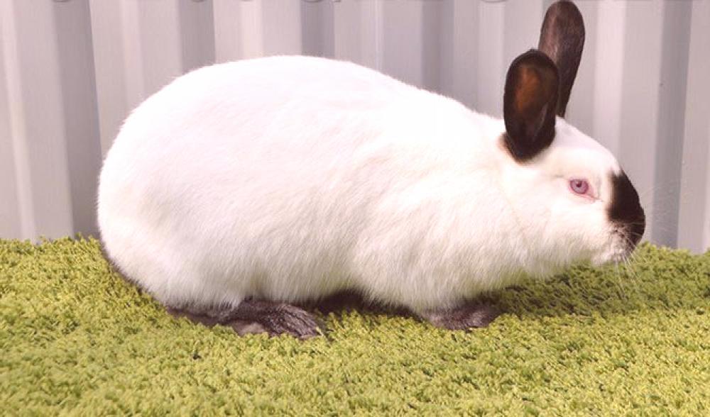 Conejo californiano, Diferentes razas de conejos