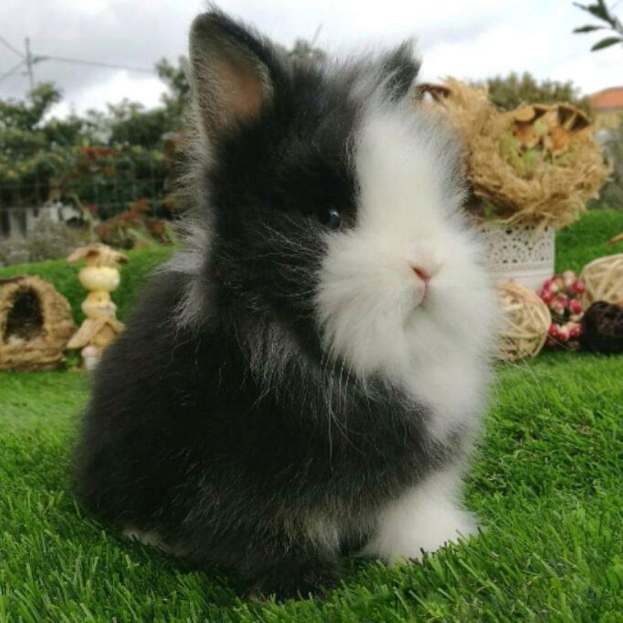 Mi conejo enano Cabeza de león. Tambor