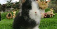 Este es mi Conejo enano raza Lion Head