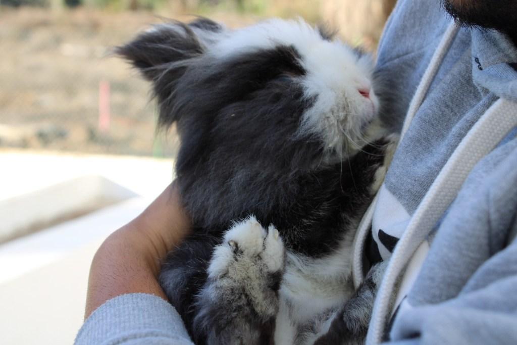 conejo enano esterilizado, cuidados para conejos enanos