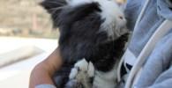 Conejo enano recién esterilizado