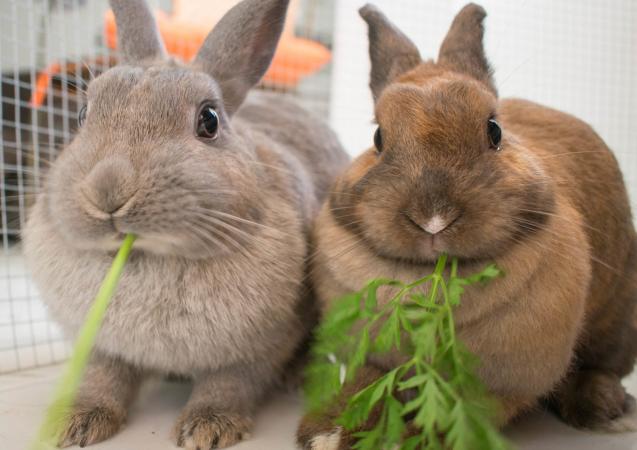 conejo gris y conejo enano marrón comen verduras - Todo sobre los conejos enanos