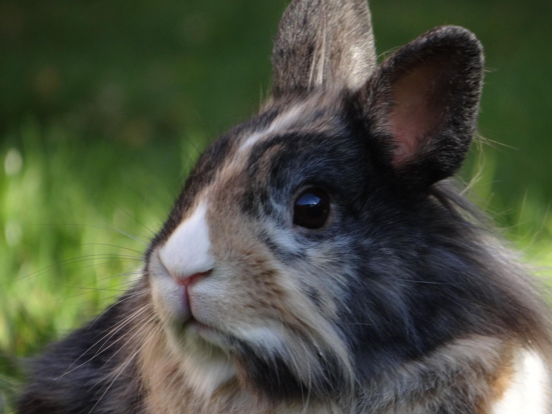 Conejo de raza cabeza de león