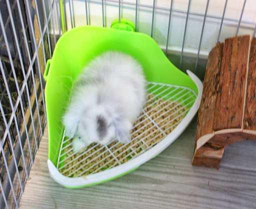 Grey nuestro conejo belier aprendiendo a usar su esquinero