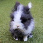 Conejo enano de raza cabeza de leon o conejo lionhead
