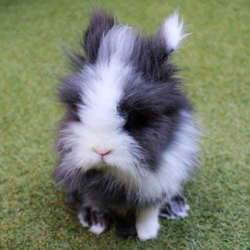 Los mejores nombres para conejos. Tambor nuestro conejo cabeza de león su nombre viene de la película Bambi