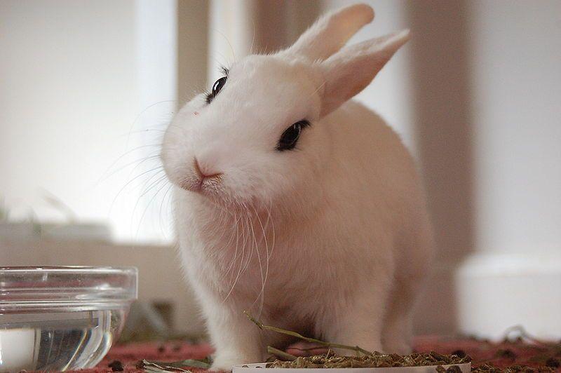 Conejo blanco Hotot - Razas  de conejos