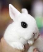 Conejo blanco de hotot - Razas de conejos