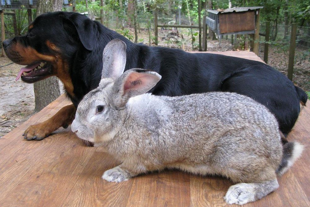 conejo gigante de flandes con un perro