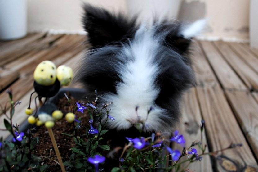 Curiosidades sobre los conejos enanos