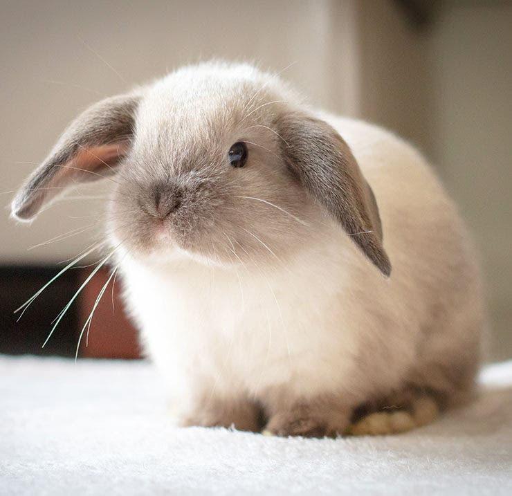 conejo enano mini lop blanco