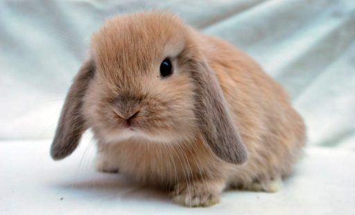 conejito mini lop marron - razas de conejos enanos