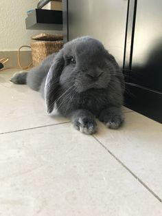 conejo negro de orejas caídas