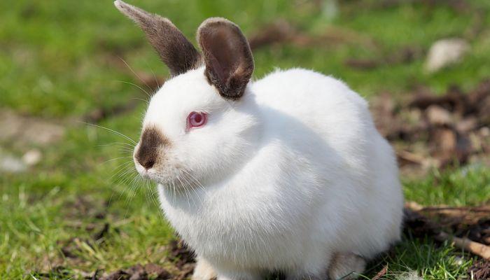 El conejo californiano - tipos de conejos