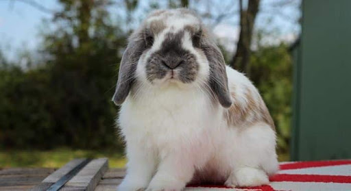 Conejo Holland lop